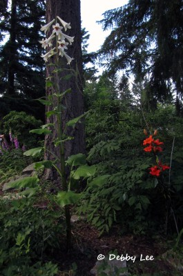 Giant Himalayan Lily