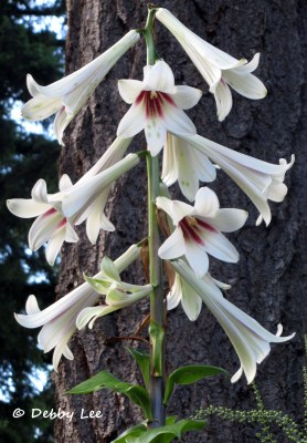 Giant Himalayan Lily Trumpets