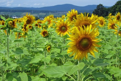 Ile d'Orleans Sunflowers
