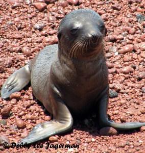 Galapagos Baby Fur Seal