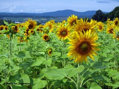 Le Ferme de Liz Ouellet Ile d'Orleans Sunflowers
