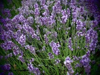 Seigneurie de l'ile d'Orleans Lavender Aroma