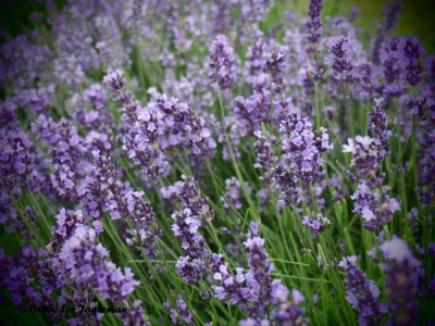 Seigneurie de l'ile d'Orleans Lavender