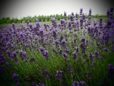 Seigneurie de l'ile d'Orleans Lavender Closeup