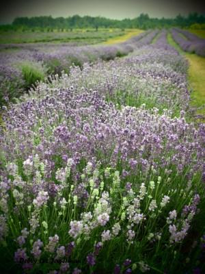 Seigneurie de l'ile d'Orleans Lavender Plants