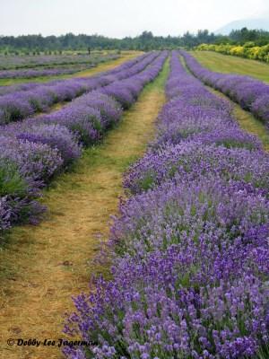 Seigneurie de l'ile d'Orleans Lavender Gardens