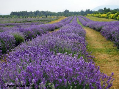 Seigneurie de l'ile d'Orleans Lavender Fields