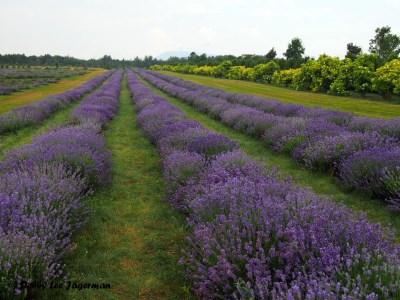 Seigneurie de l'ile d'Orleans Lavender Field