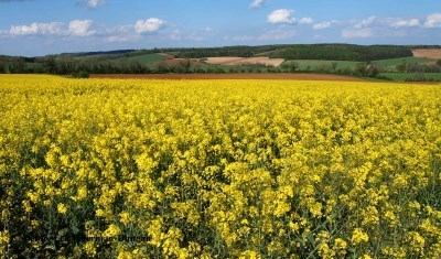 Fields of rapeseed in bloom in the cotswolds cotswolds rapeseed fields mightylinksfo