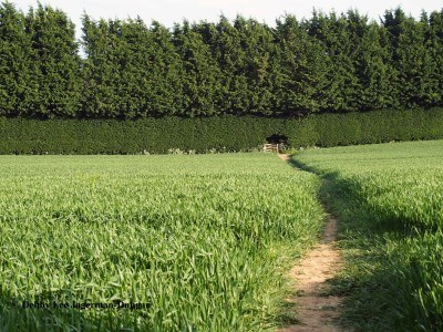Cotswolds Path Through Crops to Shrubs