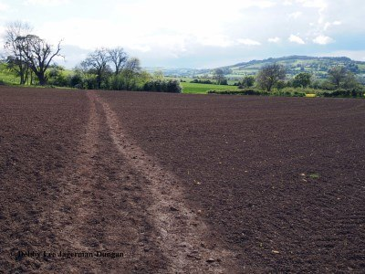 Cotwolds Dirt Path Through Unblooming Crop