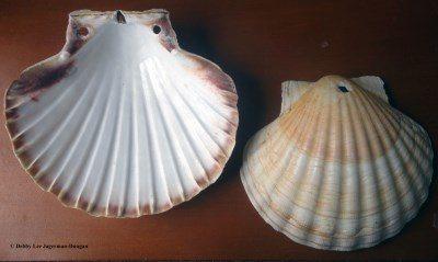 Camino de Santiago Souvenirs Scallop Shells Pilgrim