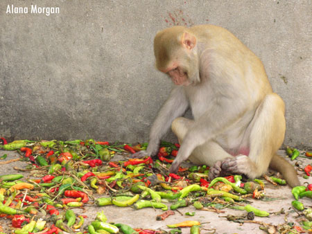 Monkey with Chilies