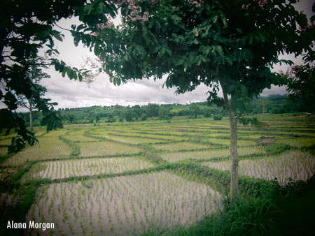 Ricefields in Pai