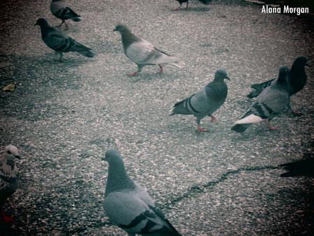 Confused Pigeons