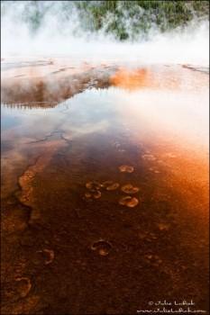 Bison Tracks in Grand Prismatic Spring