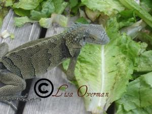 An Iguana on Aruba's Renaissance Island