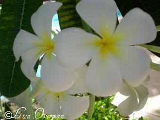 Barbados Plumeria