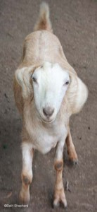 Got yer goat