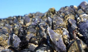 Miles of mussels