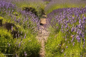 path in the lavender