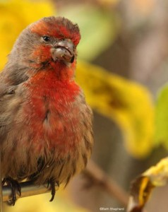 Red Finch in Fall