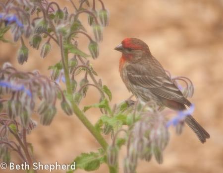 Finch in the Borage