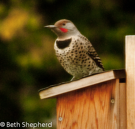 Northern Flicker on birdhouse