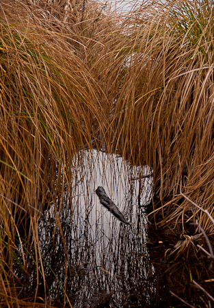Water grass at Seattle's Arboretum