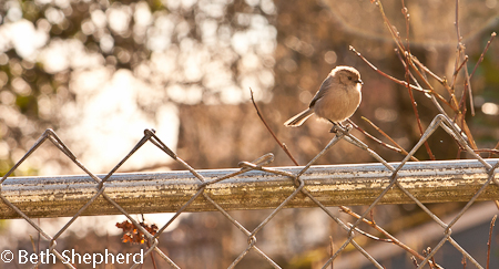 Bushtit contemplating the sunshine