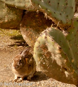 Bunny and prickly pear
