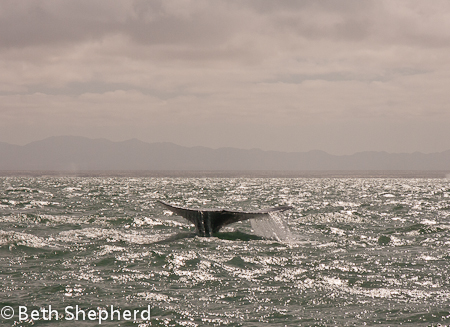 gray whale's tail