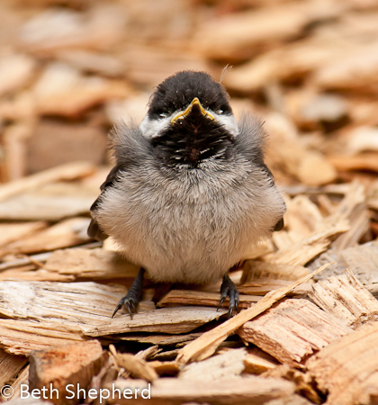 Things are looking up for this chickadee fledgling