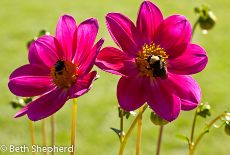 Dueling bees on dahlias, Volunteer Park Dahlia Garden