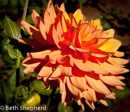 Orange dahlia, Volunteer Park Dahlia Garden