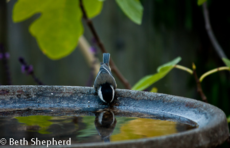 Chickadee reflection