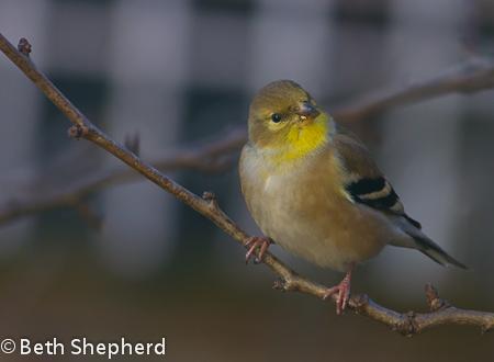 Elizabeth Mitchell little bird