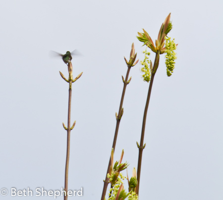 Hummingbird on treetop