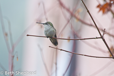 Anna's Hummingbird waving