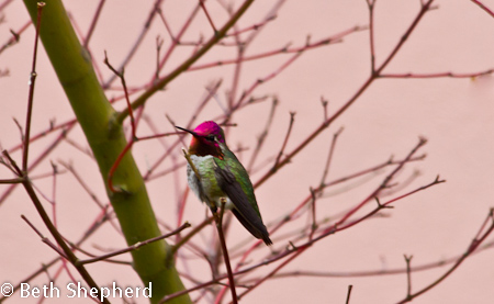 Anna's Hummingbird turns red