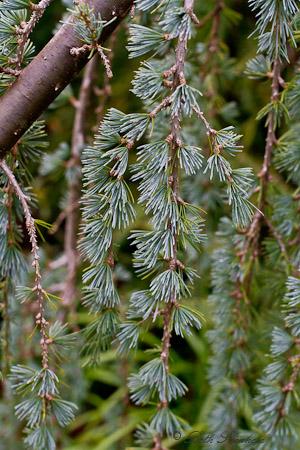 Pine Needles Kubota Garden