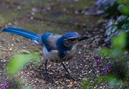 Bad Blue Jay