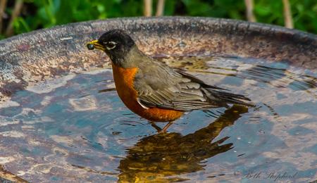 Robin in the birdbath