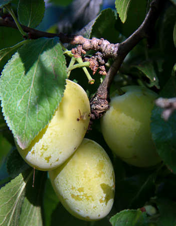 Greengage plums in our tree