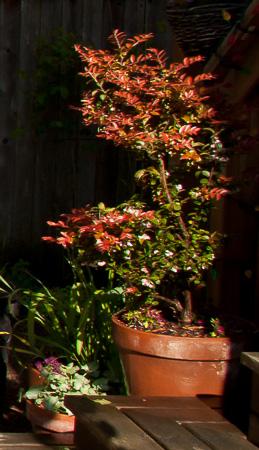 Huckleberry bush
