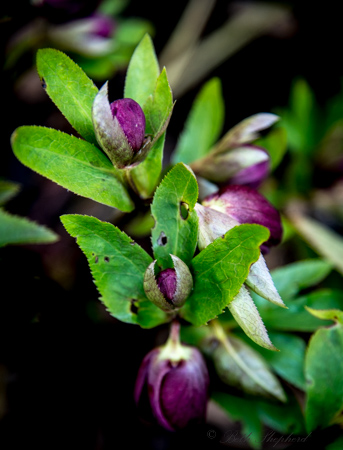 Hellebore before budding
