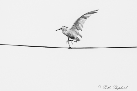 Cattle egret on a wire
