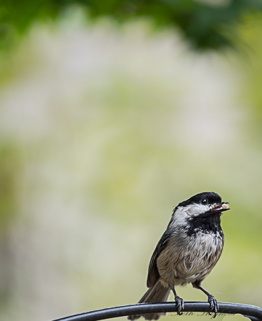 Chickadee father