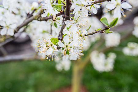 Greengage plum tree blossoms