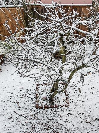 Plum tree in winter